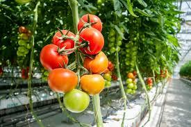 Jak uprawiać pomidory w szklarni?